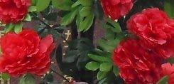 Fleurs à apporter lors de funérailles